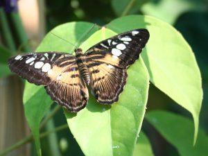бабочка душа