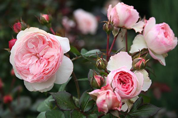 розы на пасху