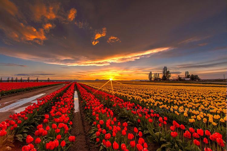 Цветочные поля в Голландии 2