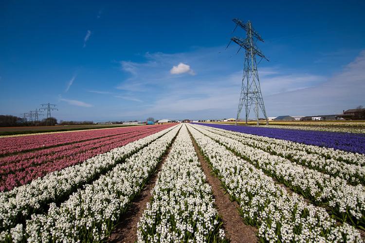 Цветочные поля в Голландии 3