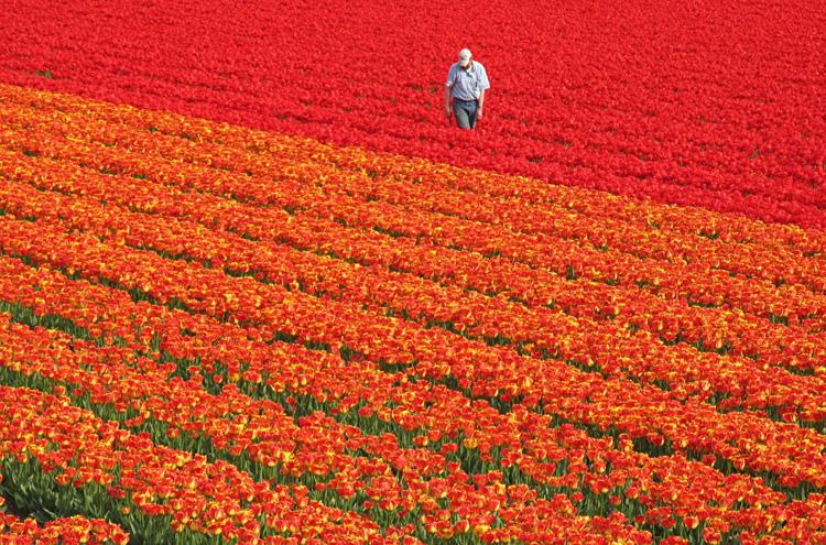 Цветочные поля в Голландии 4