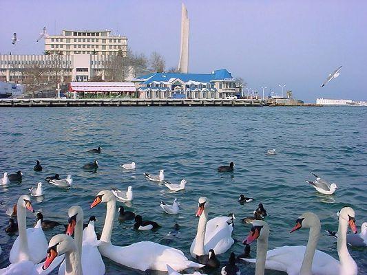 Севастополь лебеди