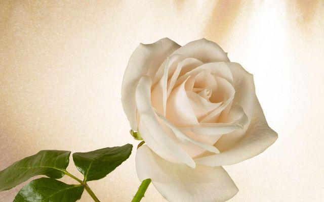 Белая роза в подарок что значит